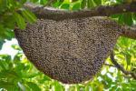 Roje pszczol zbior� i zap�ac� za wskazanie