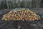 Drewno opa�owe, brzozowe